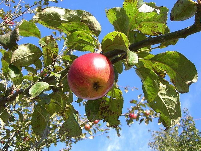English: Wild apple tree Deutsch: Wilder Apfelbaum